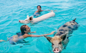 Sandals Emerald Bay Swim With The Pigs